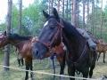 konie_ulanow_1